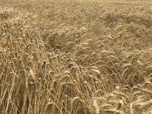 Van het achtergrond tarwegebied gouden geel natuurlijk seizoengebonden landbouwconcept Stock Foto