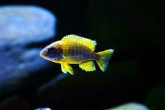 Van het aulonocara mamelele aquarium van Malawi cichlid de vissenjongere royalty-vrije stock afbeeldingen