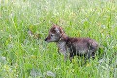 Van het coyote (Canis latrans) Jong de Tribunes op Grasrijk Gebied Royalty-vrije Stock Afbeeldingen