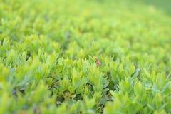 Van het de bladerengebladerte van de voorraadfoto groene de textuurachtergrond royalty-vrije stock fotografie