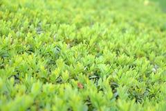 Van het de bladerengebladerte van de voorraadfoto groene de textuurachtergrond stock afbeelding