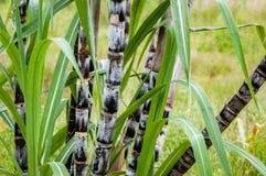Van het de close-up de tropische klimaat van de suikerrietinstallatie van het de aanplantingslandbouwgewas organische ruwe horizo royalty-vrije stock foto's