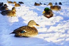 van het de dagzonlicht van de vogelseend de koude schaduw van de de wintersneeuw in openlucht Stock Afbeelding