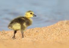 Van het de Gansgansje van Canada de Baby Chick Walking op het Zand stock foto's