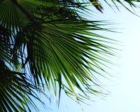 van het de hemelblad van het de zomerzonlicht van de de kleurenaard groene van de het bladschoonheid het close-uppalm Stock Foto