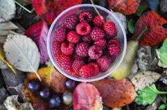 Van het de herfstdomein van de frambozeninzameling de natuurlijke achtergrond Stock Fotografie