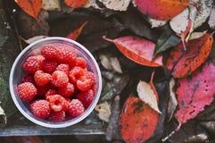 Van het de herfstdomein van de frambozeninzameling de natuurlijke achtergrond, de herfstkleuren Stock Afbeeldingen