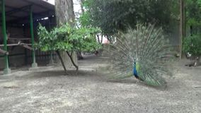 Van het de scènelandschap van de parkaard de boom groene pauwen stock videobeelden