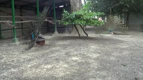 Van het de scènelandschap van de parkaard de boom groene pauwen stock footage