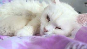 Van het de slaapbed van het katten de witte voedende katje moeder en de zoon stock video