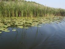 Van het grasoever en meer installatiesbezinning in water Stock Foto