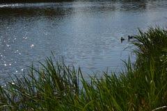 Van het het meerwater van de eend dierlijke dierlijke fauna bloemen het gras zonnige dag Royalty-vrije Stock Afbeeldingen