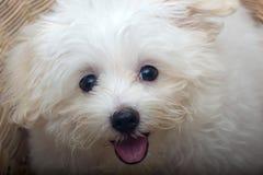 Van het het puppyras van Shihtzu de uiterst kleine hond Stock Foto
