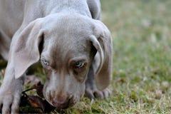 Van het het Rassenhuisdier van de Weimaranerwijzer de Hondpuppy Royalty-vrije Stock Foto