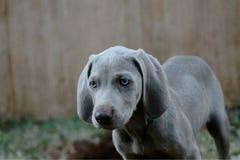 Van het het Rassenhuisdier van de Weimaranerwijzer de Hondpuppy Royalty-vrije Stock Afbeeldingen