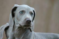 Van het het Rassenhuisdier van de Weimaranerwijzer de Hondpuppy Stock Fotografie