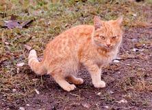 Van het het huisdierenkatje van kattenkatten dwalen de wilde daklozen dier af stock foto's