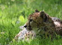 Van het jachtluipaardhoofd en Gezicht nadruk in Gras stock afbeeldingen