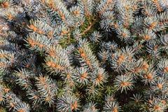 Van het Kerstmispatroon van de sparrennaaldboom het close-upachtergrond Royalty-vrije Stock Fotografie