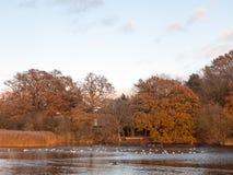 Van het het landschapsmeer van de herfstbomen de bezinningen van het land in watereenden Stock Fotografie