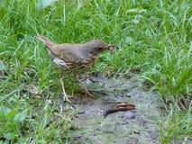 Van het Leven van Vogels Vogel die een worm eten stock fotografie