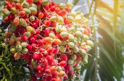Van het lippenstiftpalm of zegelwas palm of radjapalm onder zonlicht Royalty-vrije Stock Afbeeldingen
