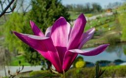 Van het magnolia ?Spectrum ?de roze bloem in de lente stock afbeelding