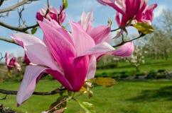 Van het magnolia ?Spectrum ?de roze bloem in de lente royalty-vrije stock afbeelding