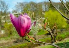 Van het magnolia ?Spectrum ?de roze bloem in de lente stock fotografie