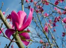 Van het magnolia ?Spectrum ?de roze bloem in de lente royalty-vrije stock fotografie