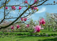 Van het magnolia ?Spectrum ?de roze bloem in de lente stock afbeeldingen
