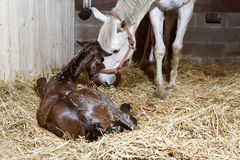 Van het moedermerrie en veulen geboorte stock foto
