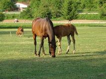 Van het moederpaard en Veulen het weiden in de weide stock afbeeldingen