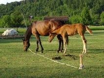 Van het moederpaard en Veulen het weiden in de weide royalty-vrije stock foto's