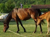 Van het moederpaard en Veulen het weiden in de weide royalty-vrije stock afbeelding