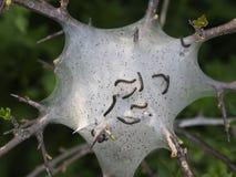 Van het nestaka van de tentrupsband de rupsbanden van de de Lakeimot Malacosomaneustria Op Prunus-spinosatakje stock afbeeldingen