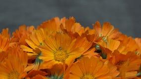 Van het officinaliskruid van goudsbloemcalendula de bloembloei draaischijf stock footage