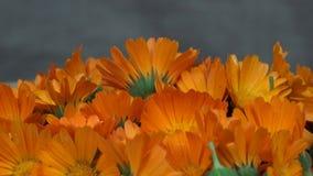 Van het officinaliskruid van goudsbloemcalendula de bloembloei draaischijf tegen de wijzers van de klok in stock videobeelden