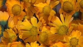 Van het officinaliskruid van goudsbloemcalendula de bloembloei draaischijf tegen de wijzers van de klok in stock footage