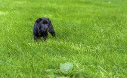 7 van het oude zwarte Labradorweken puppy die zich in hoog gras bevinden royalty-vrije stock fotografie