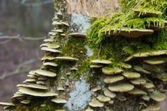 Van het paddestoelenhubs en mos het groeien op de boomstam van een boom stock afbeelding