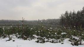 Van het sparren (Kerstmisbomen) brede landschap de wintermening stock footage