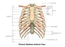 Van het het Systeem Borstskelet van het menselijk Lichaamsskelet voorafgaande het Weergevenanatomie vector illustratie