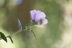Van hibiscussyriacus 'Colestis' de Bloem Stock Afbeeldingen