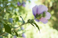 Van hibiscussyriacus 'Colestis' de Bloem Stock Foto's