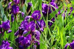Van irisbloemen abstract gazon als achtergrond Wildflowersmadeliefjes Samenvatting Stock Afbeelding