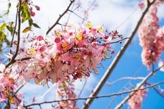 Van kassieboombakeriana of Kanlapaphruek bloemen royalty-vrije stock afbeeldingen