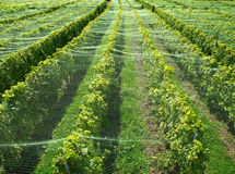 Van Lavaux (Zwitserland) de wijngaarden stock fotografie
