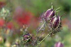 Van liefde-in-a-mist damascena bloemennigella Stock Foto