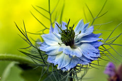 Van liefde-in-a-mist damascena bloemNigella Stock Foto's